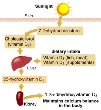 Vitamin D Metabolism
